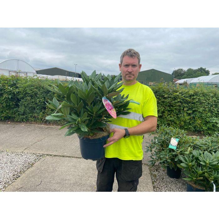 Rhododendron Hybrid Cosmopolitan 7.5 Litre Pot