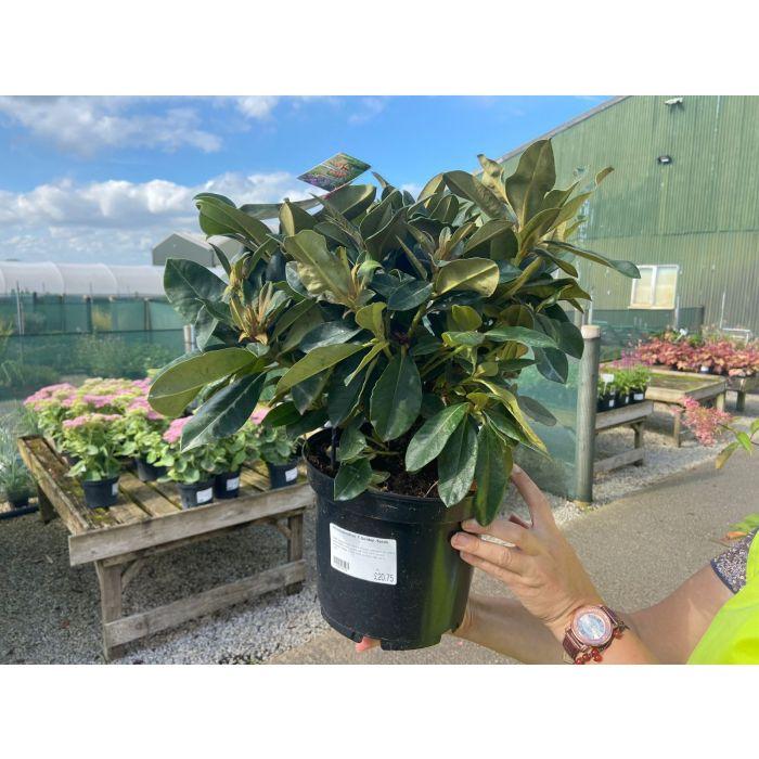 Rhododendron Yak. Golden Torch 5 Litre Pot