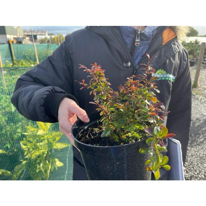 Berberis Atropurpurea Nana 2 Litre Pot