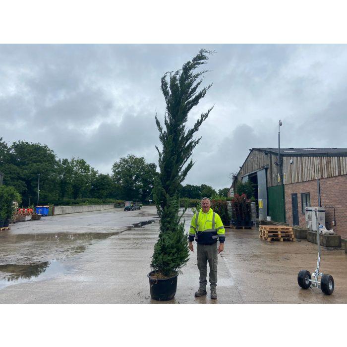 Green Leylandii Hedging 80 Litre Pot 3.5 - 4 Metre