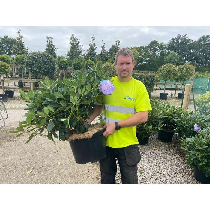 Rhododendron Hybrid Catawbiense Grandiflorum 25 Litre Pot
