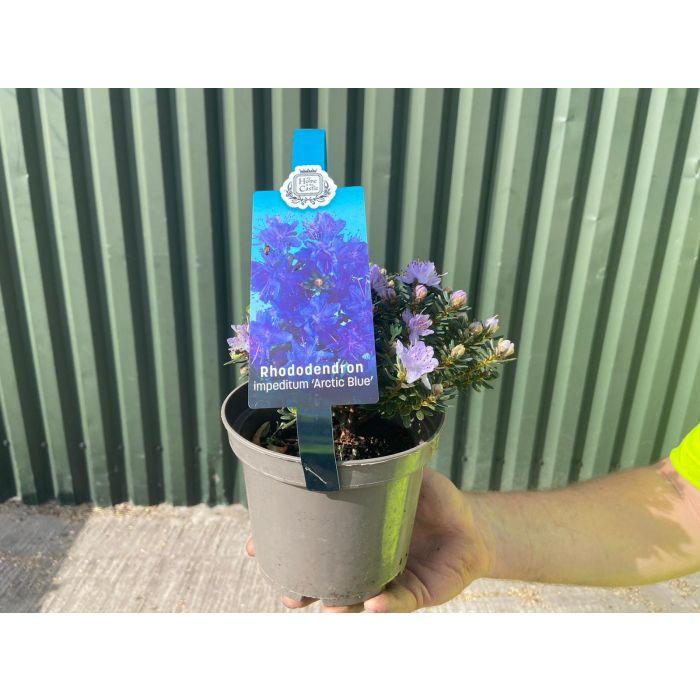 Rhododendron Imp. Arctic Blue 2 Litre Pot