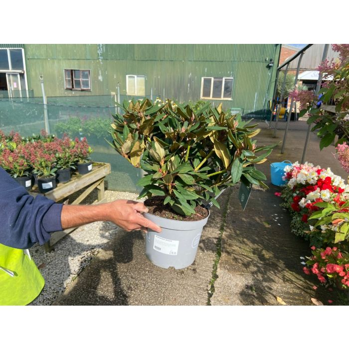 Rhododendron Winsome 4 Litre Pot