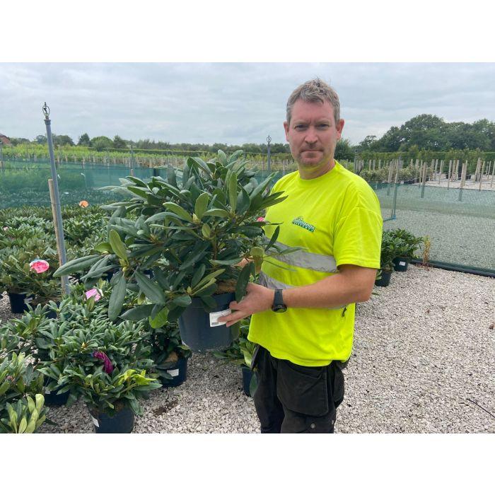 Rhododendron Hybrid Marcel Menard 7.5 Litre Pot