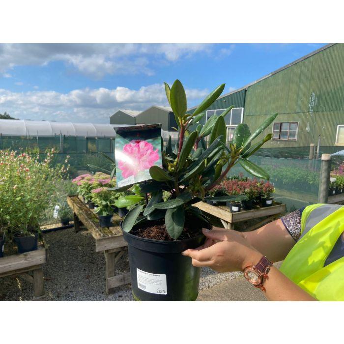 Rhododendron Yak. Blurettia 5 Litre Pot
