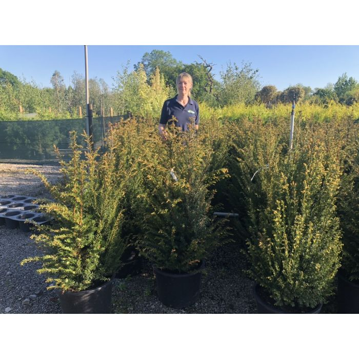 Yew Hedging Root Ball 80-100cm Order For November