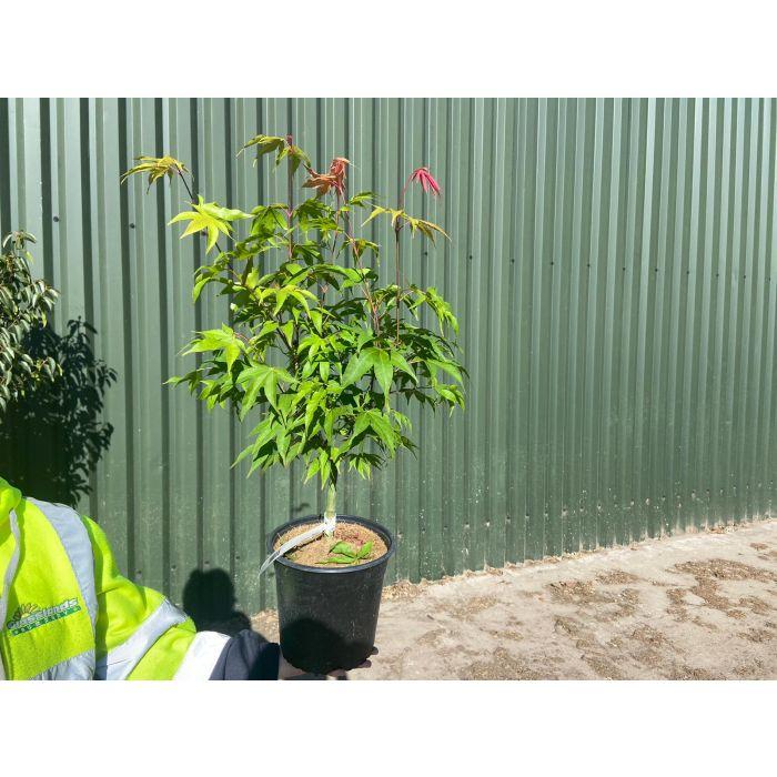 Acer palmatum Osakazuki 4.5 Litre