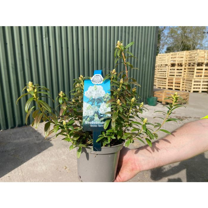 Rhododendron Arctic Tern 2 Litre Pot