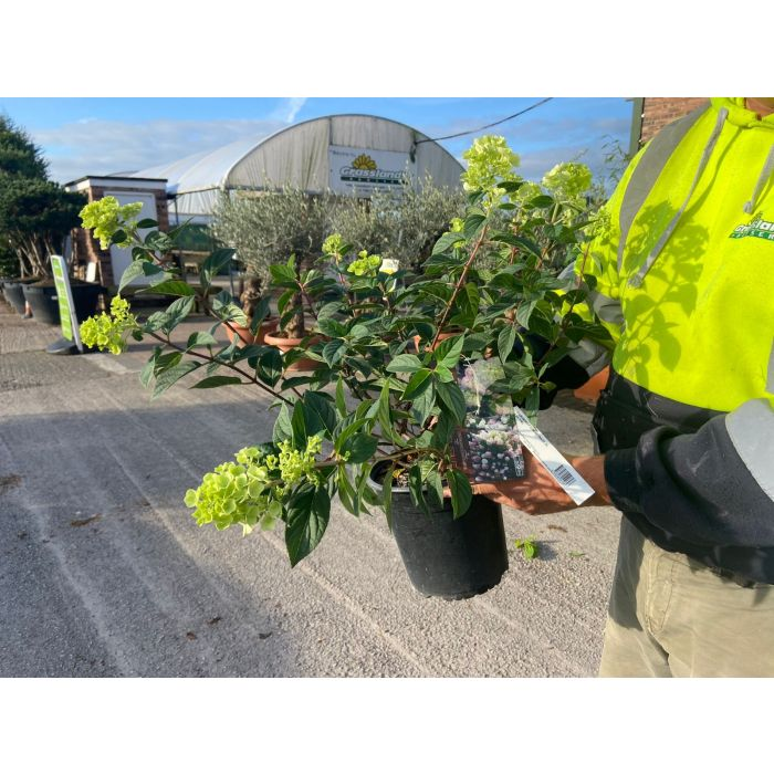 Hydrangea Paniculata Sundae Fraise 4.5 Litre Pot
