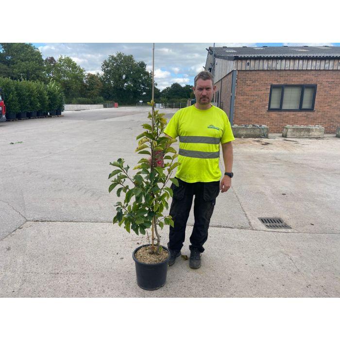 Magnolia Genie 15 Litre Pot Tree Shaped