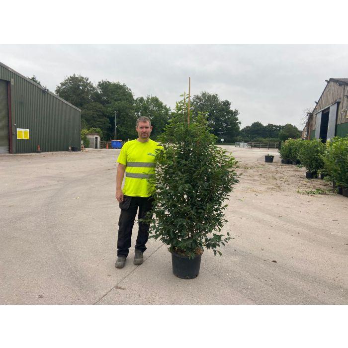 Prunus Lusitanica Myrtifolia 25 Litre 160/180cm