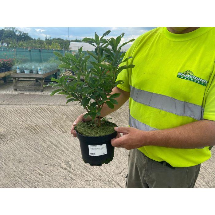 Azalea knaphill Nabucco 3 Litre Pot