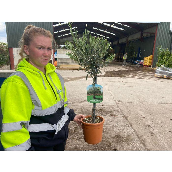 Olea Europea 1/4 Standard 4 Litre Pot
