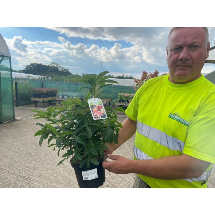 Azalea Knaphill Berry Rose 3 Litre Pot