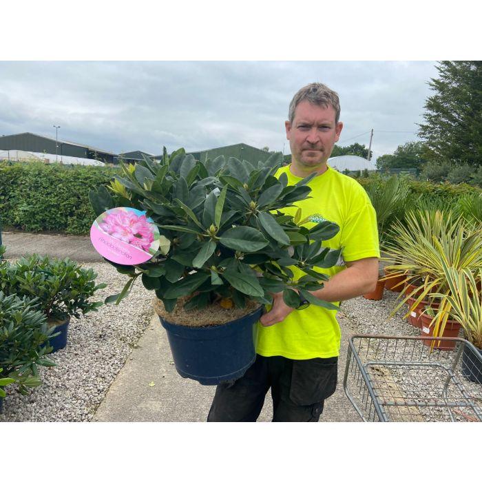 Rhododendron Hybrid Eucharitis 15 Litre Pot