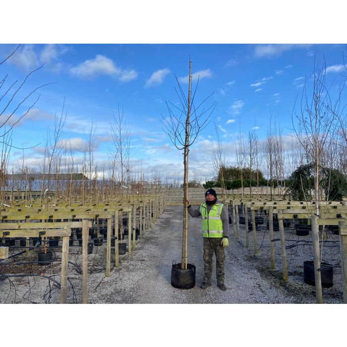 Prunus Avium Extra Heavy Standard 12-14 cm Girth
