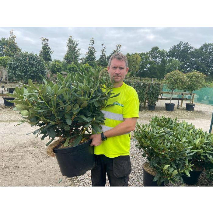 Rhododendron Hybrid Nova Zembla 25 Litre Pot