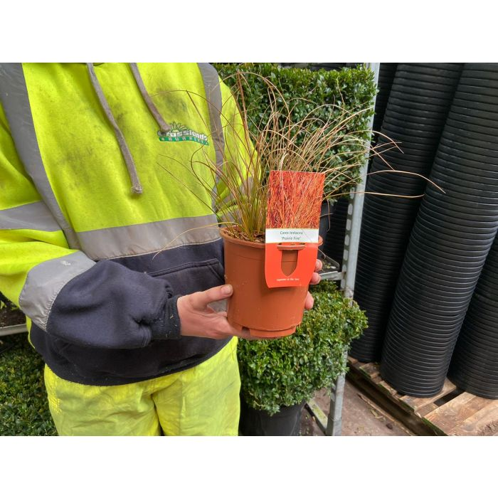 Carex Testacea Prairie Fire 14cm Pot
