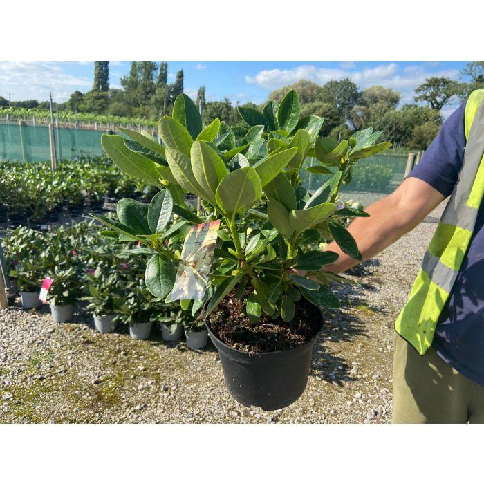 Rhododendron Elsie Straver 5 Litre Pot