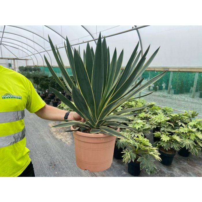 Yucca Gloriosa Variegata 10 Litre Pot