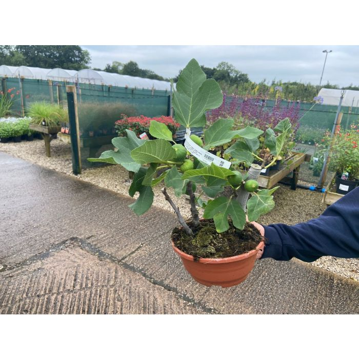 Ficus Or Fig Carica 4 Litre Bowl Mini Standard