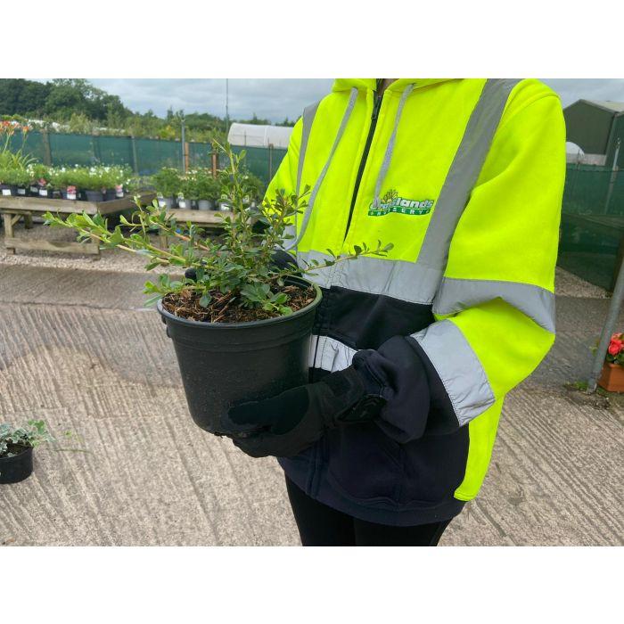 Escallonia Donard Seedling 3 Litre Pot