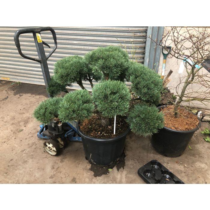 Pinus Sylvestris Watereri Bonsai 65 Litre Pot