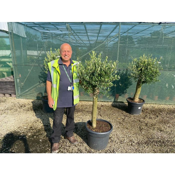 Olive Tree 35 Litre Pot