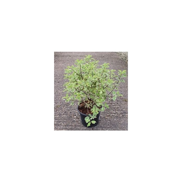 Pittosporum Eugenoides Variegatum 3 Litre Pot