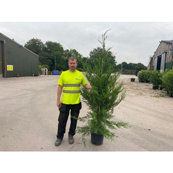 Green Leylandii Hedging 15 Litre Pot 175/200cm