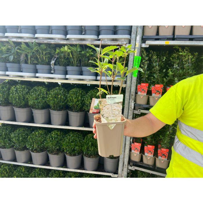 Hydrangea Paniculata Phantom 11cm Pot