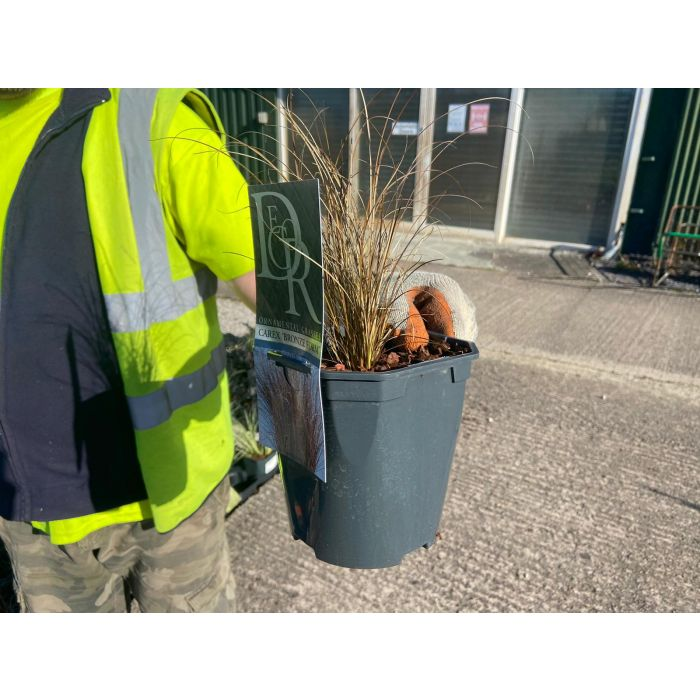 Carex Corman's Bronze 2 Litre Pot
