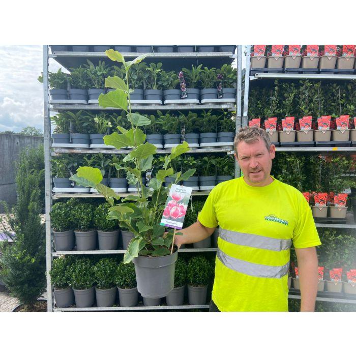 Magnolia Satisfaction 5 Litre Pot