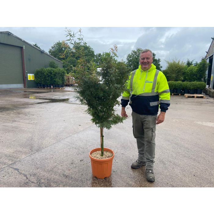 Acer palmatum Jerre Schwartz 1/4 Standard 25 Litre