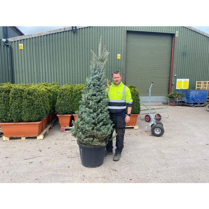Picea Pungens Fat Albert 80 Litre Pot 175/200CM