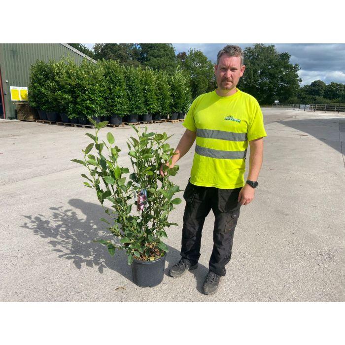 Magnolia De. Festirose 15 Litre Pot