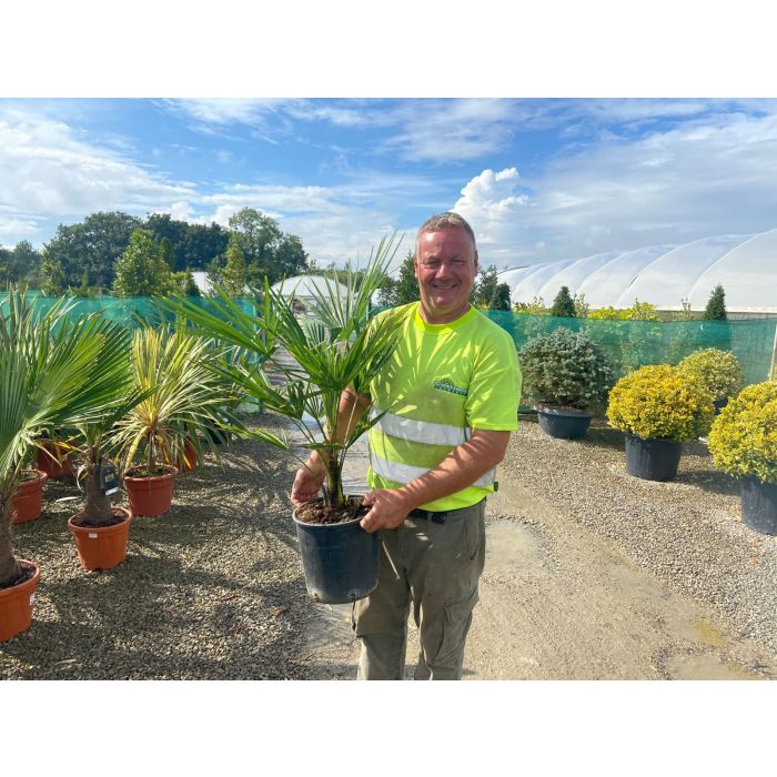 Trachycarpus Fortunei 9 Litre Pot