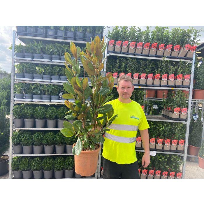 Magnolia Grandiflora 10 Litre Pot