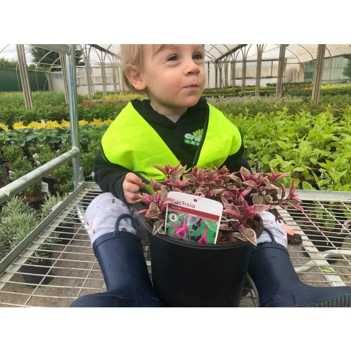 Fuchsia Sunray 3 Litre Pot