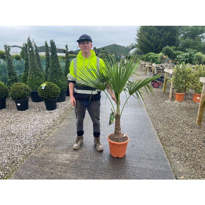 Trachycarpus Fortunei 15 Litre Pot