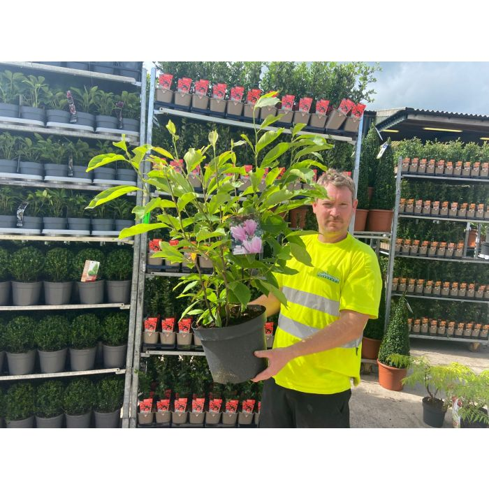 Magnolia George Henry Kern 10 Litre Pot Bush
