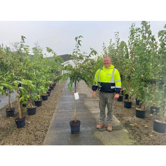 Prunus subhirtella Autumnalis Rosea 10 Litre Pot