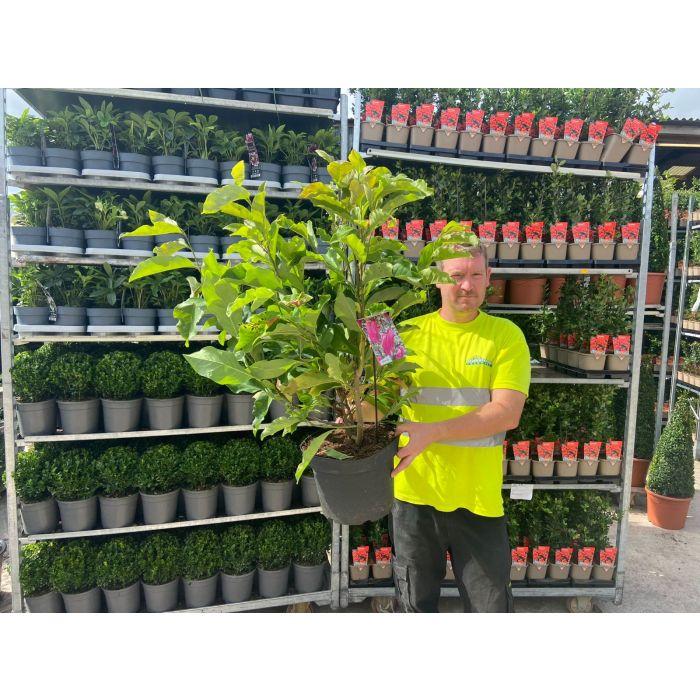 Magnolia Susan 10 Litre Pot Bush