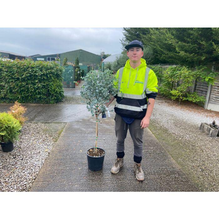 Eucalyptus Gunnii Azura Quarter Standard 10 Litre Pot