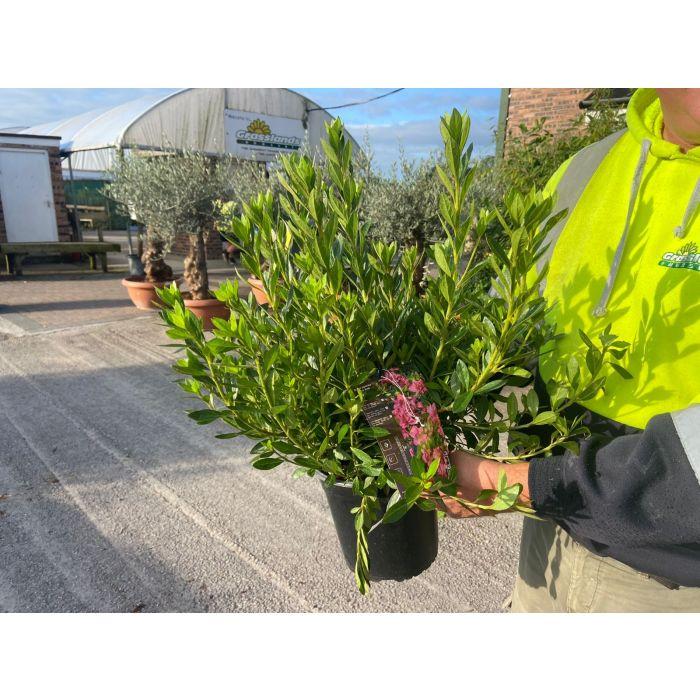 Azalea Japonica Rosa King 4.5 Litre Pot