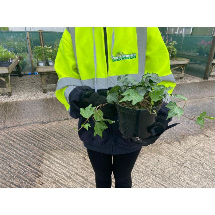 Hedera Green Ripple 2 Litre Pot