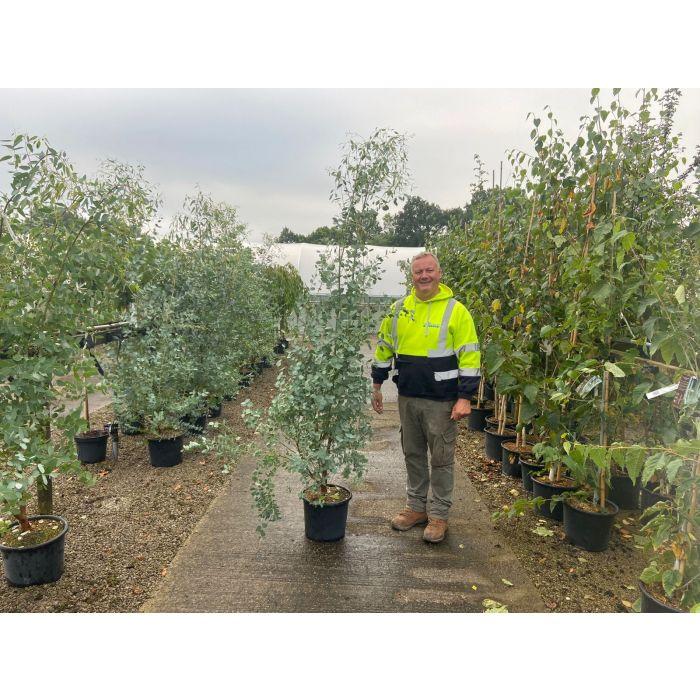 Eucalyptus Gunnii 15 Litre Pot