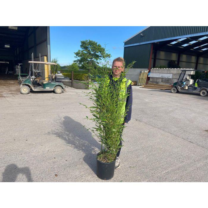 Green Bamboo Bissetti 15 Litre Pot 120-150cm