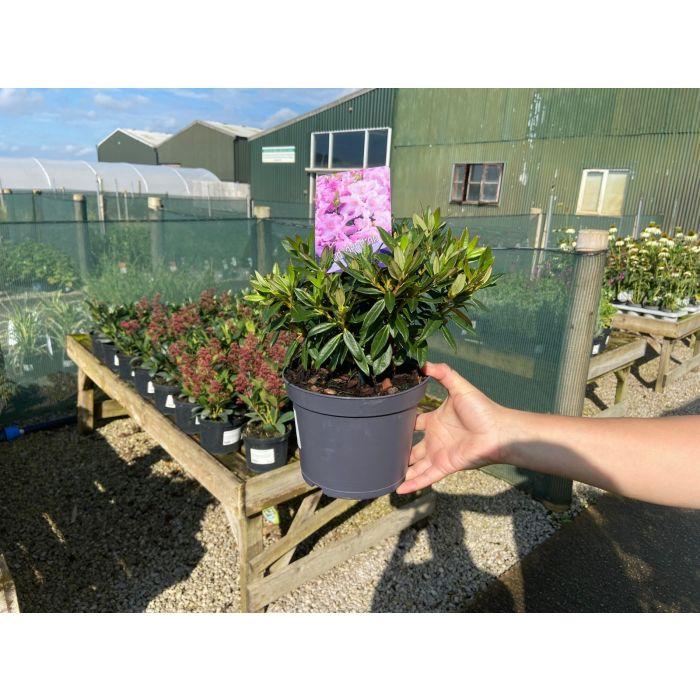 Rhododendron Robert Seleger 2 Litre Pot