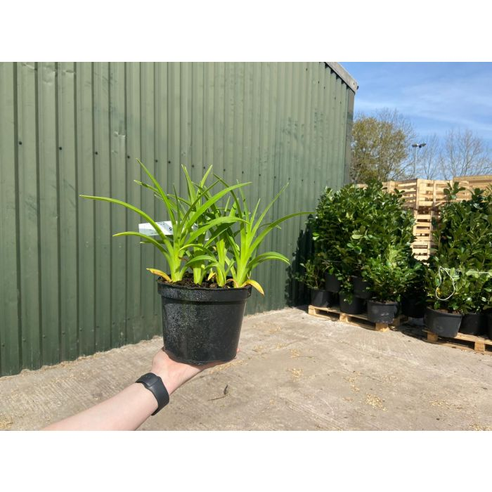 Hemerocallis Pink Damask 2 Litre Pot